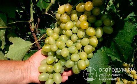 Виноград супер экстра: описание сорта, отзывы