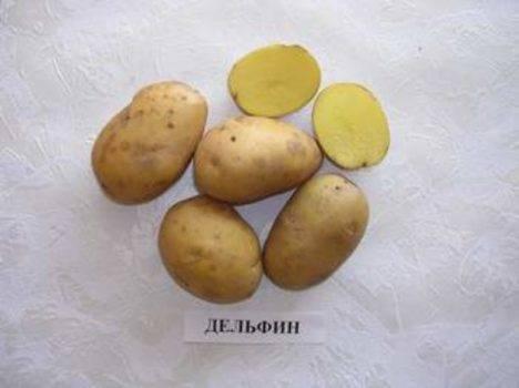 Картофель волант — описание сорта, фото, отзывы, посадка и уход