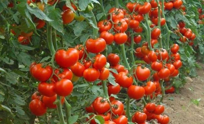 Ответ на вопрос: как часто поливать помидоры в теплице