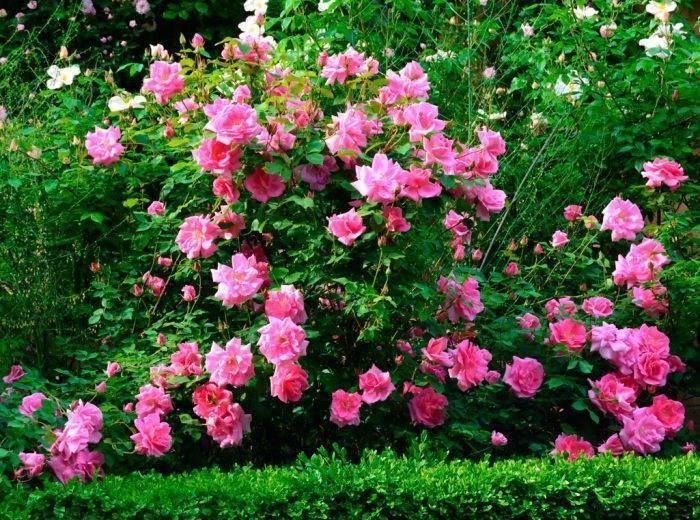 Какие бывают мелкие виды кустовых роз - молочай