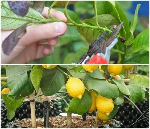 Обрезка лимона: правила, сроки, рекомендации