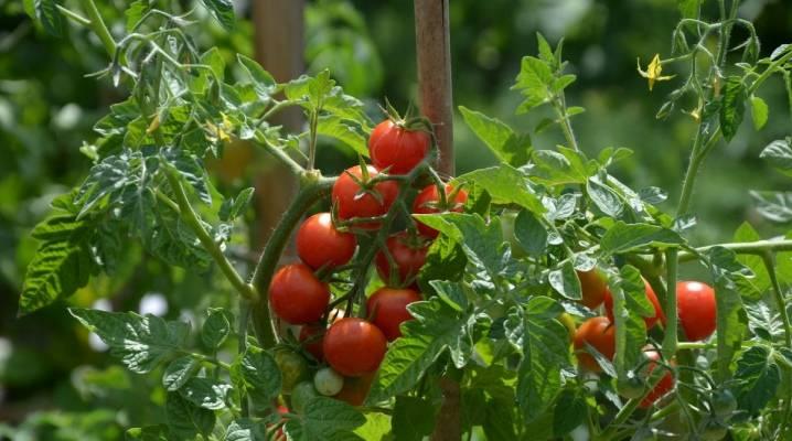 Чем опрыскать помидоры - когда и как правильно обрабатывать помидоры. график и схема полива и удобрения томатов (100 фото и видео)