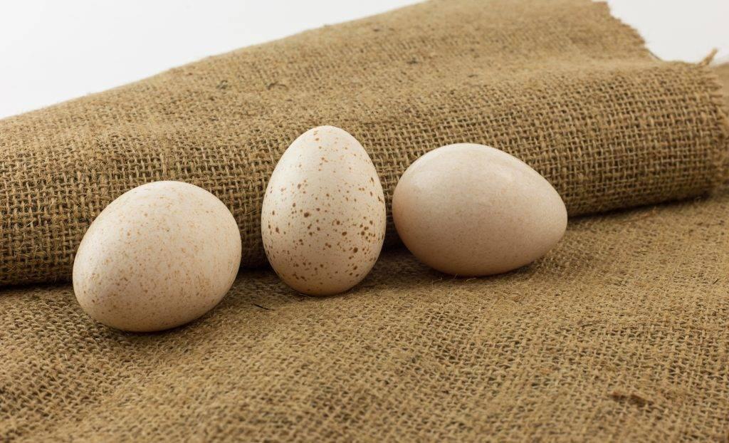 Инкубация индюшиных яиц в домашних условиях: температура и влажность, режим, фото, таблица инкубации индюшиных яиц в домашних условиях в инкубаторе