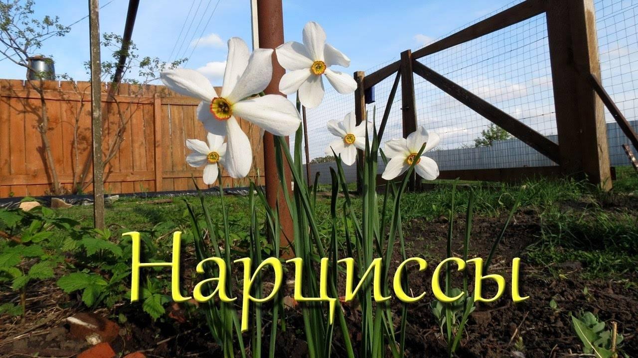 Как заставить цвести на даче нарциссы