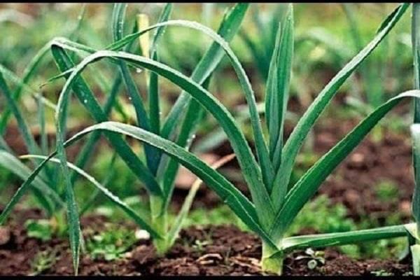 Обзор и применение гербицидов для озимого и ярового чеснока от сорняков