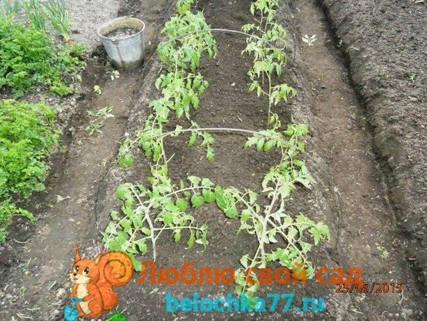 Как правильно вырастить помидоры от семечка до сбора урожая