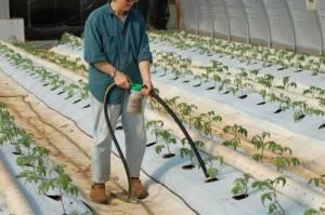 Как поливать помидоры в теплице правильно: сколько нужно воды и какое время лучше, фото и видео