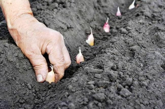 Озимый чеснок - выращивание и уход