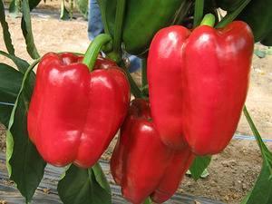 Выращивание перцев из семян в домашних условиях: как вырастить рассаду на подоконнике или балконе без проблем русский фермер