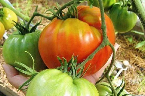 Цифомандра — выращиваем томатное дерево в комнате. уход в домашних условиях. фото — ботаничка.ru