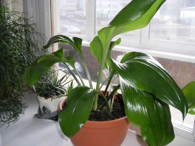 Эухарис: желтеют и отмирают листья, причины и лечение амазонской лилии и возможные ошибки ухода