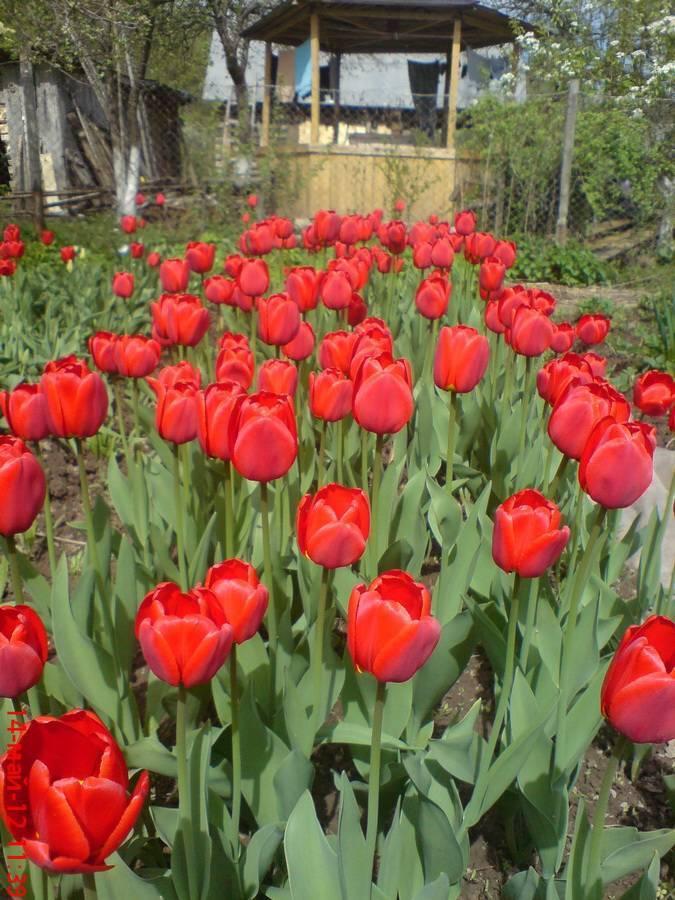 Пересадка тюльпанов: когда и как правильно?