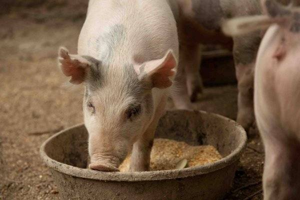 Популярные премиксы для свиней