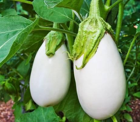 ✅ баклажан бибо f1: описание сорта, фото, выращивание и уход - tehnoyug.com