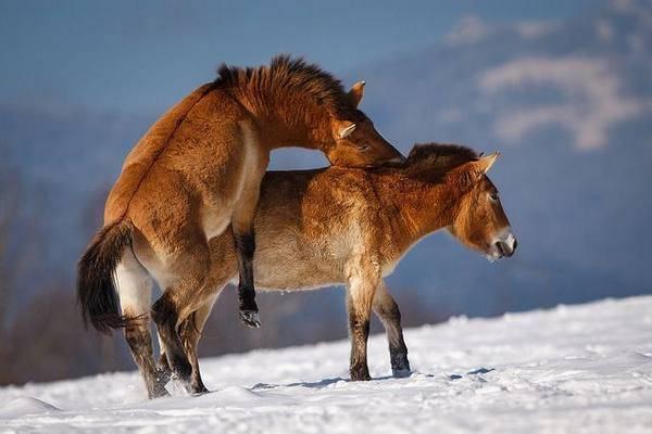 ᐉ спаривание лошадей: методы спариванияи и подготовка к процессу - zooon.ru