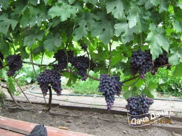 Виноград тасон: описание сорта с характеристикой и отзывами, особенности посадки и выращивания, фото