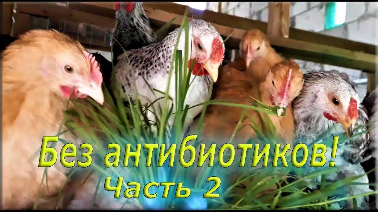 Какие антибиотики давать цыплятам бройлерам и как это делать правильно