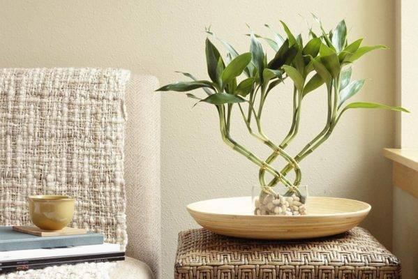 Драцена сандера: комнатный счастливый бамбук, уход за растением в домашних условиях