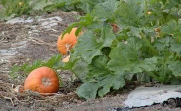 Подкормка кабачков | во саду и в огороде