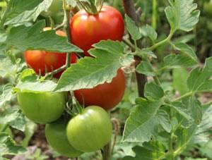 ✅ почему белеют листья на помидорах в теплице, что делать с белыми пятнами - tehnomir32.ru