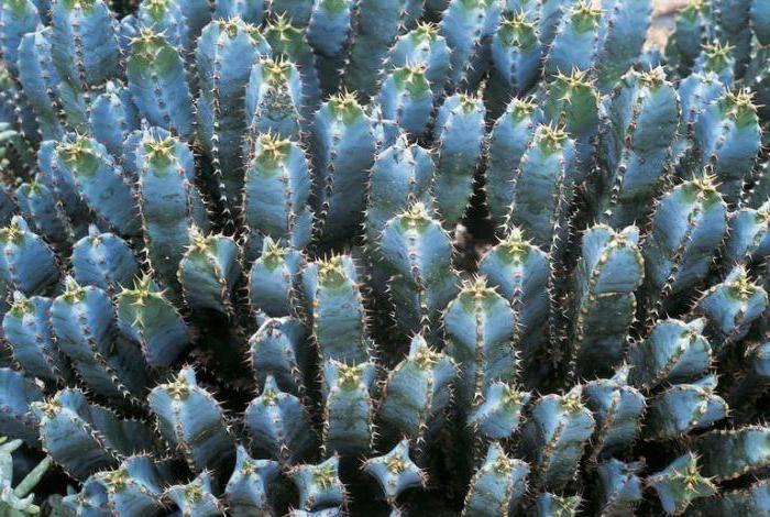 Выращиваем молочай миндалевидный. особенности растения