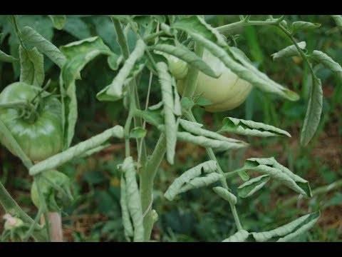 Почему скручиваются листья у помидоров в теплице: что делать