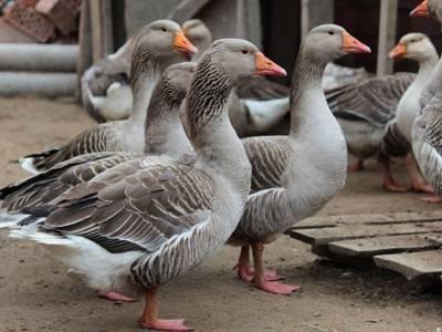 Особенности тулузских гусей