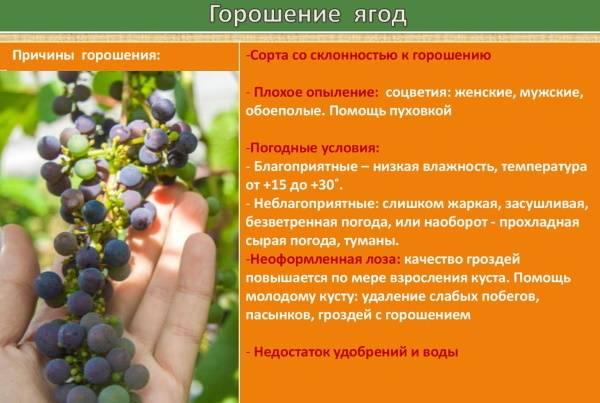 Сорт винограда «кодрянка»: описание и отзывы