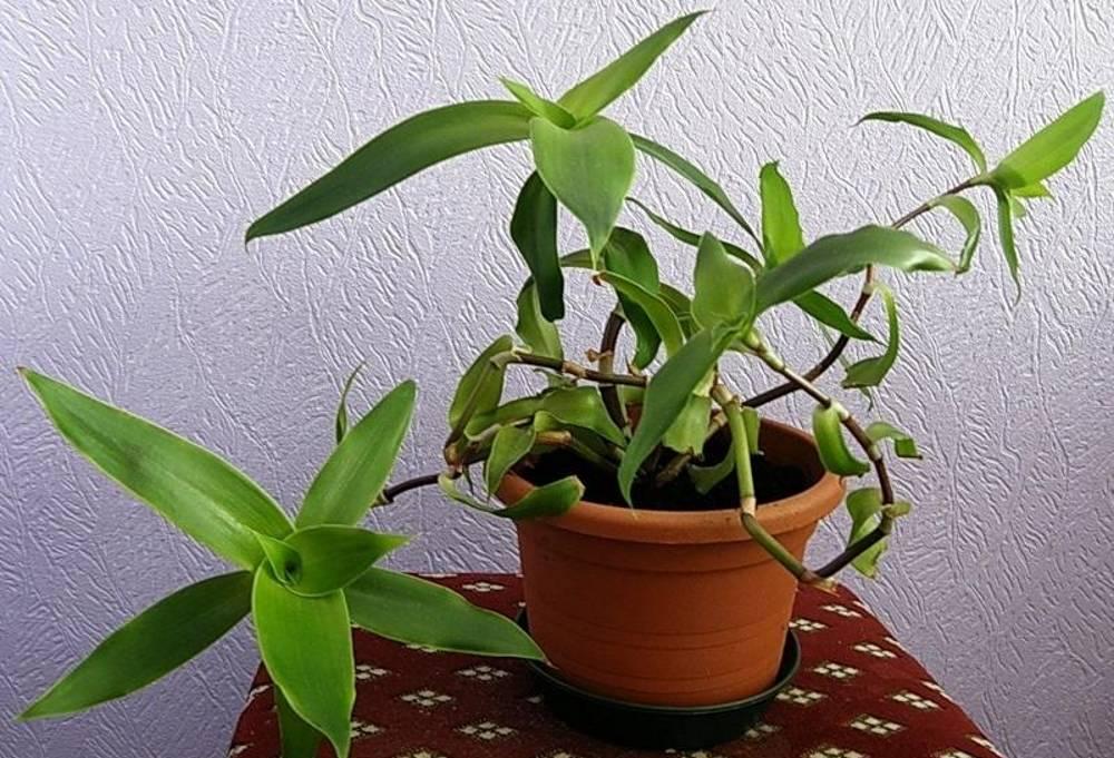 Золотой ус: выращивание в домашних условиях, правила и секреты