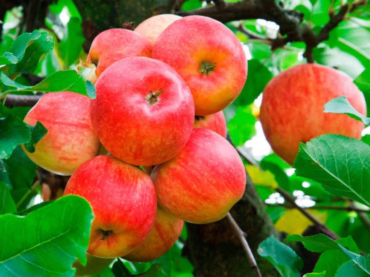 Подкормка яблонь осенью после сбора урожая: сроки, техники, график внесения удобрений