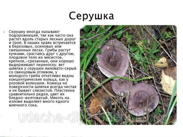 Серушка или рядовка серая - съедобный гриб. описание отличий. фото.