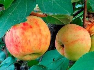✅ о яблоне кандиль орловский, описание сорта, характеристики, агротехника - tehnomir32.ru