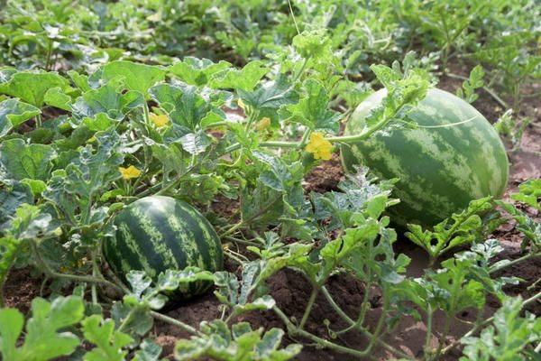 Арбуз холодок: описание сорта, выращивание и уход, отзывы