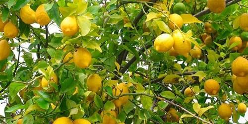 Поговорим, к чему снятся лимоны. за разъяснением обратимся к соннику