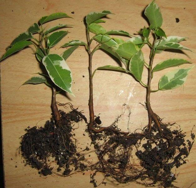 Размножение фикуса черенками в домашних условиях (13 фото): как посадить фикус отростком и укоренить отросток без корней? как правильно взять черенок?