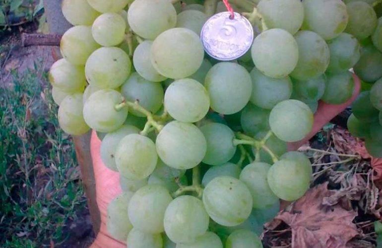 Не виноград, а настоящая песня — сорт белое чудо