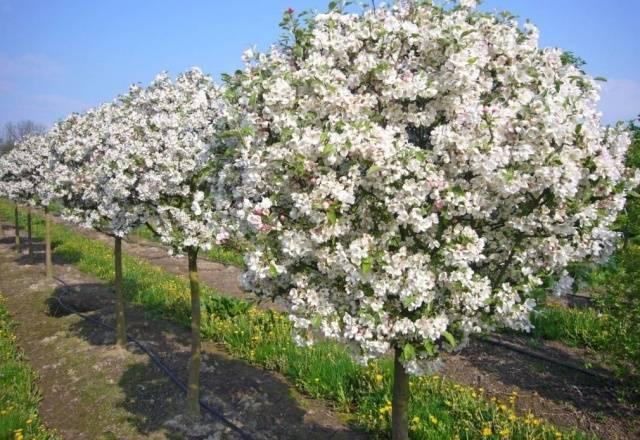 Карликовые яблони — посадка и уход