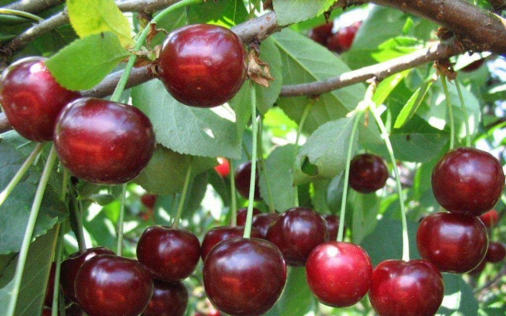 Описание сорта вишни уральская черешенка, регионы для выращивания, посадка и уход - всё про сады