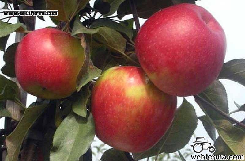 Яблоня айдаред — высокоурожайный сорт для юга россии, приносящий до 90 кг плодов