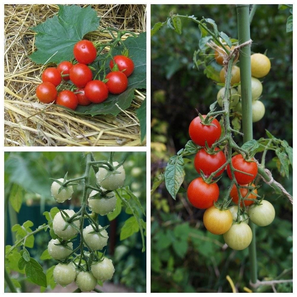 Помидоры черри для подмосковья: сорта для открытого грунта, низкорослые и для теплиц, лучшие томаты, устойчивые к фитофторе, также как подготовить семена к посадке?