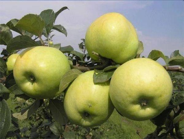 Яблоня антоновка десертная - посадка, уход и борьба с вредителями, описание сорта и его фото selo.guru — интернет портал о сельском хозяйстве
