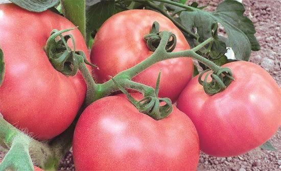 Описание томата тарпан: вкус, цвет, урожайность, назначение