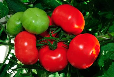 Томат благовест - характеристика и описание сорта: отзывы и правила выращивания (120 фото + видео)
