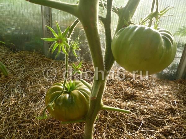 Как и когда нужно окучивать помидоры в теплице