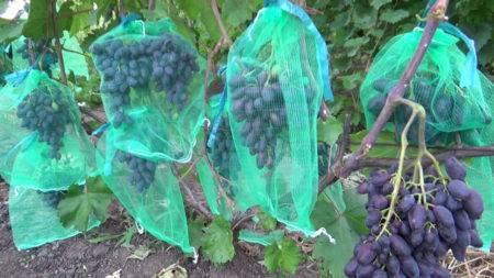 Виноград по имени атос — как ухаживать за украинским мушкетером
