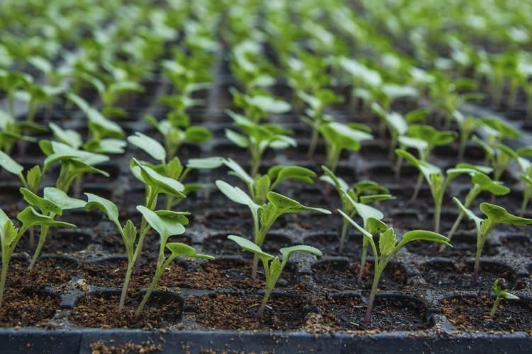 Посадка помидоров в улитку юлии миняевой пошагово: преимущества и отзывы дачников