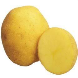 Характеристика сорта картофеля венета — фото и описание