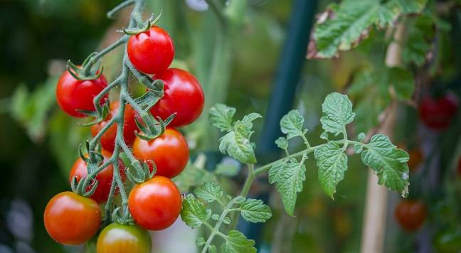 Томаты черри для теплицы - сорта помидоры, похожие на вишню: как выращивать лучшие сорта и ухаживать за кустом при выращивании? русский фермер
