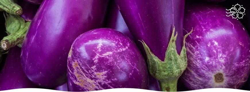 Как вырастить баклажаны в открытом грунте: от рассады до урожая