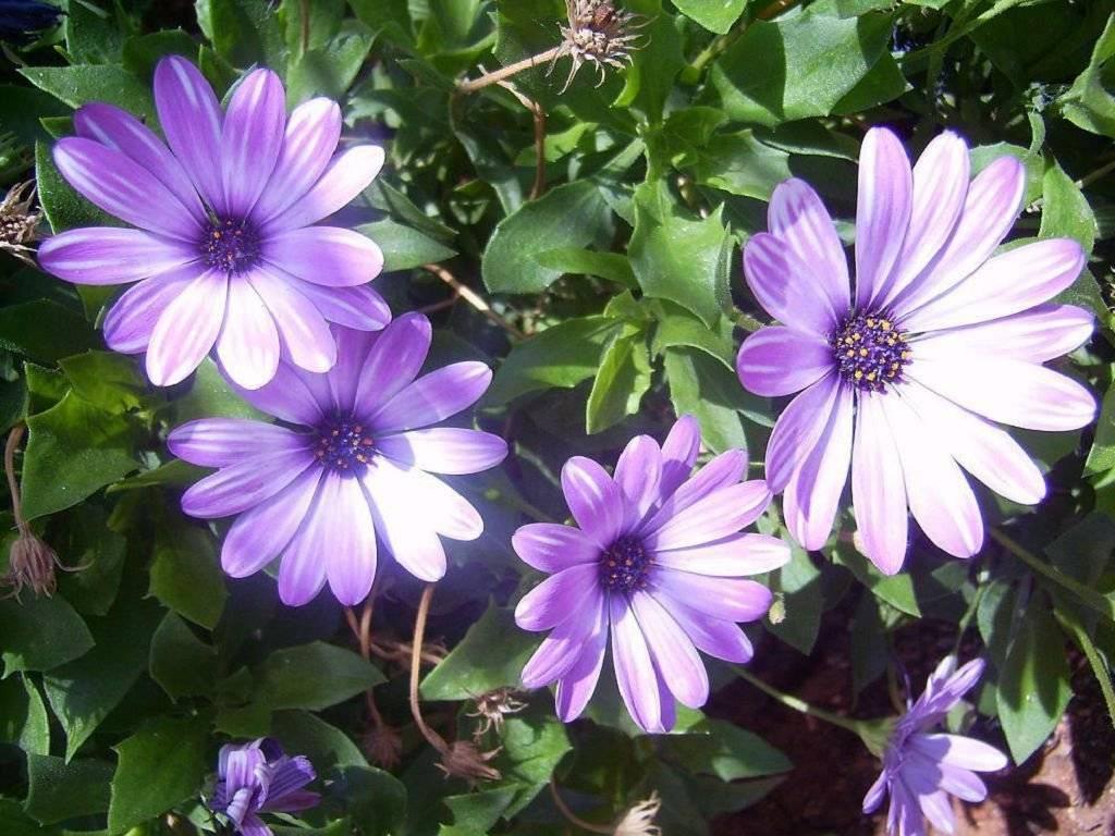 Остеоспермум - выращивание из семян в домашних условиях, полезные советы начинающим садоводам